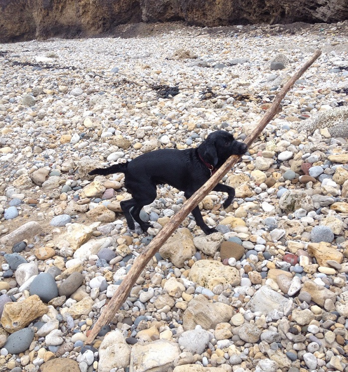 Labrador with Big Stick