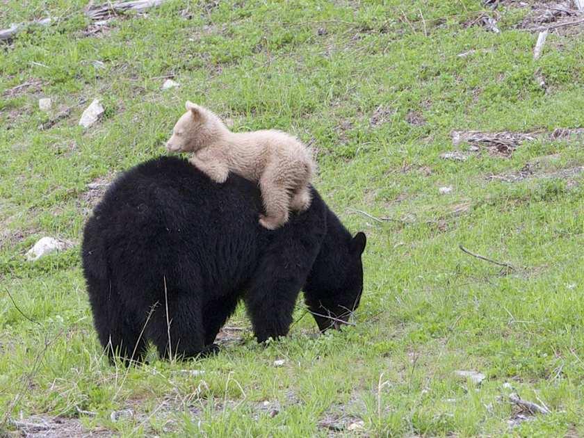 bear cub whistler